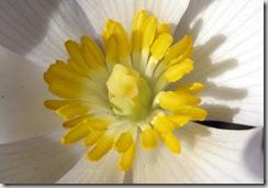 sanguinaria_canadensis_macro