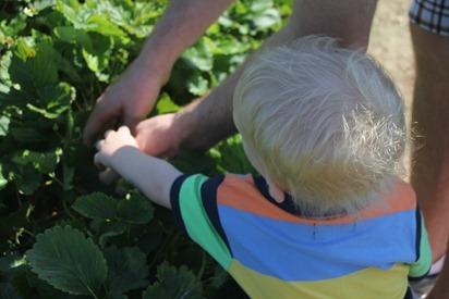 Strawberry Picking 13