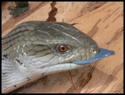 australian-native-reptiles-blue-tongue-lizard1