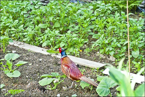 pheasant in my veggies!