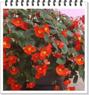 egyszerű gumós begónia-frissítés után: Begonia Flamboyant