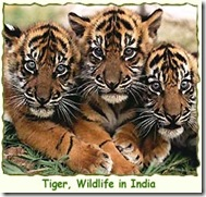 tiger-wildlife-india