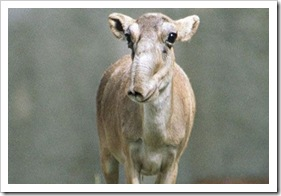 Saiga Antelopes - The endangered species