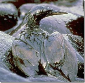 BP Oil Spill - Birds Struggling for their life