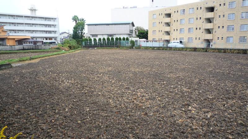 arroz, rice, 田んぼ, arrozal, field, campo