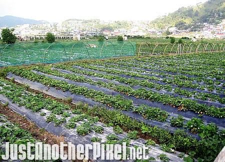 Strawberry Farm, fields in La Trinidad in Baguio - JustAnotherPixel.net