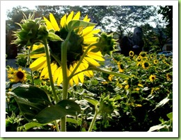 DSC00021 021 sunflower