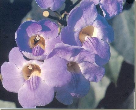FSG Grandiflora
