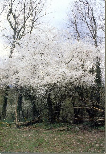 Florais de Bach Cherry Plum