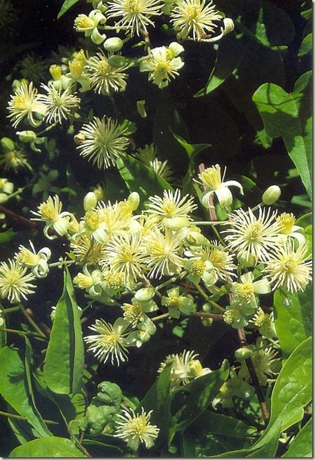 Florais de Bach Clematis