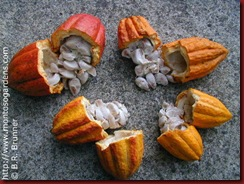 ca 28 theobroma_cacao_4_small