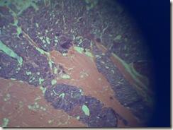 histology slide under microscope