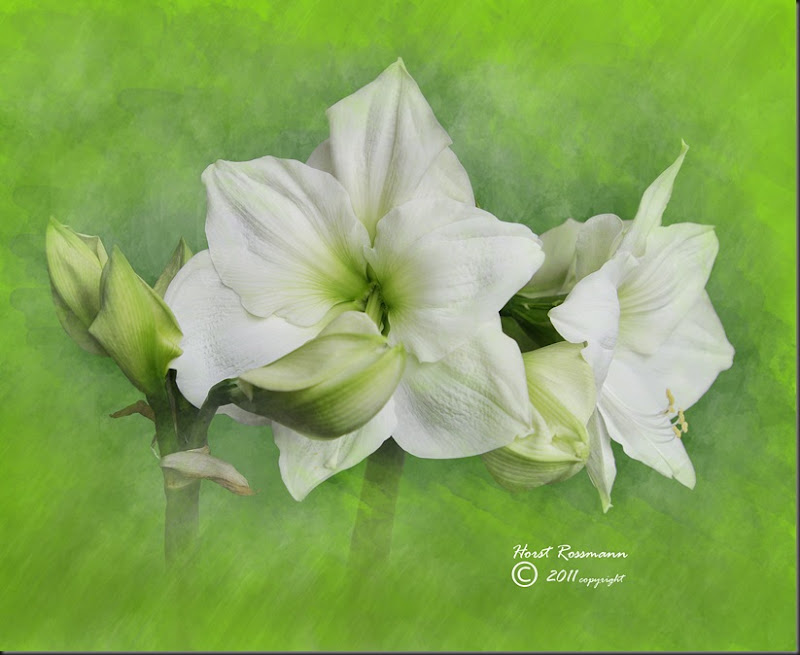 gr White Amaryllis copy