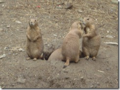 Prarie Dogs - Mean but cute