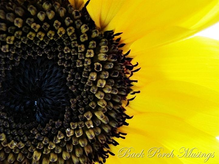sunflowerd