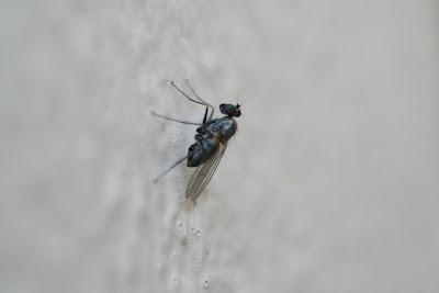 Fluga på väggen