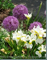 Siberian Iris and Allium CloseUp