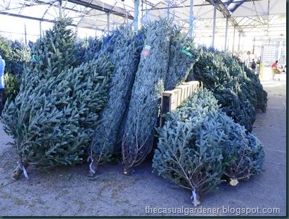 Christmas Trees at the local big box store