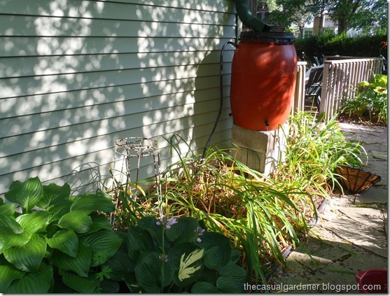 Messy perennials that need a filler next to a rain barrel