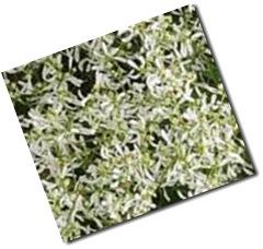 Lacy White Breathless Euphorbia copy