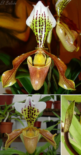 Zapatilla de Venus, Zapatito de la Virgen, Flor zueco, Capachito