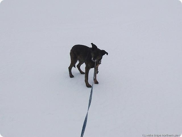 brown dog white background