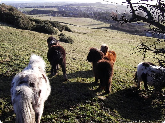 gang of ponies