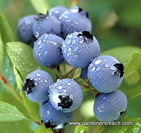 Blueberries Help Us Achieve Better Health