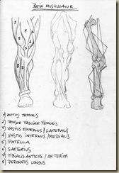 anatomie_bein2