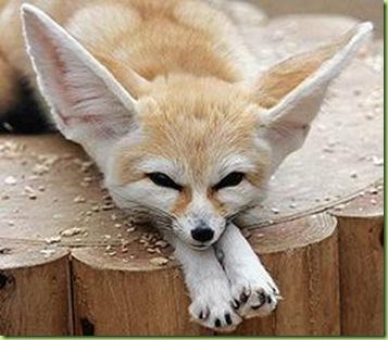 250px-Fennec_Fox
