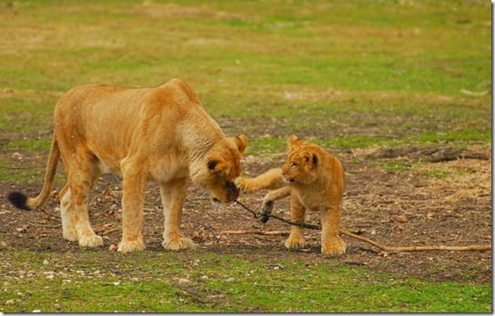 ibu singa