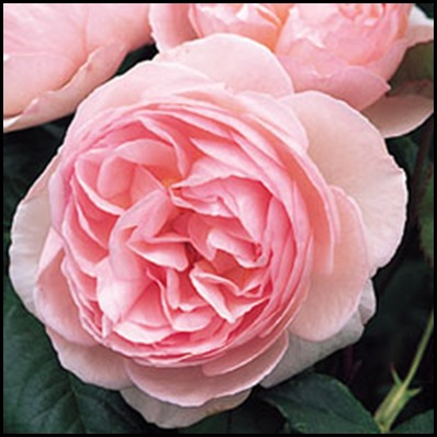 Heritage Rose