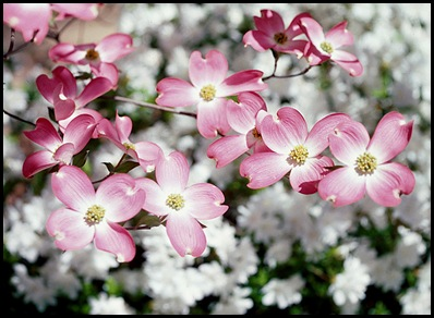 dogwoods7