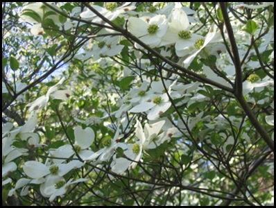 dogwoods3
