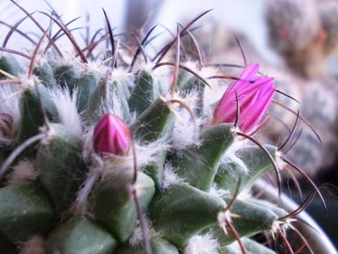 Kaktusas