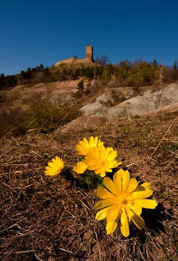 Adonis vernalis, im Hintergrund die Burg Gleichen