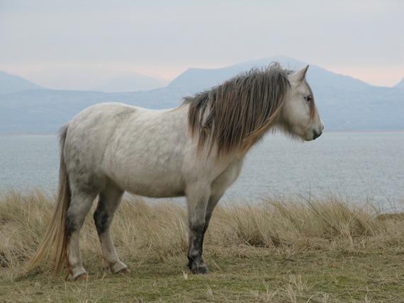 llandwyn pony 1