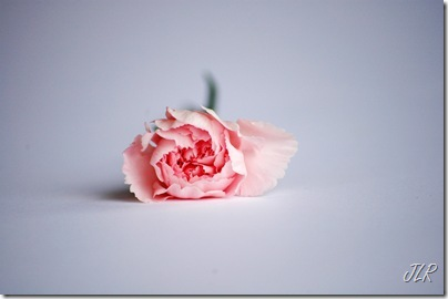 PinkCarnation_edited-1