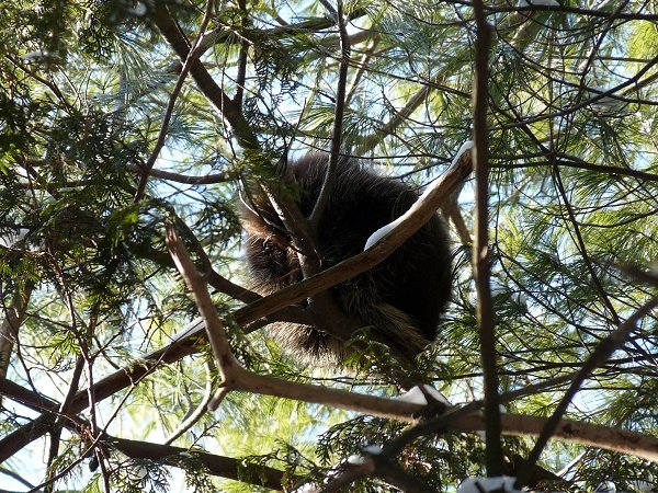 porcupine in pine