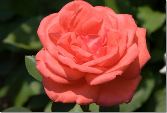 coral tea rose