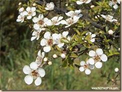 Flores Manuka