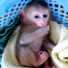 Monyet Hasil Cangkok DNA Lahir