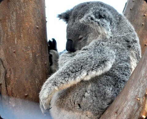koala01