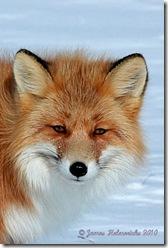 IRFox-face2_7292