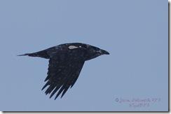 Raven-tagged1sm-CJ_6478