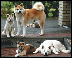 família de akitas