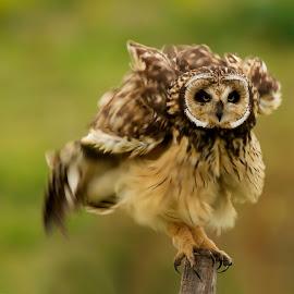shaking by Edith Polverini - Animals Birds ( bird, owl, looking owl, shaking, asio flameus )