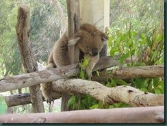 a sleepy koala bear gan garoo 2
