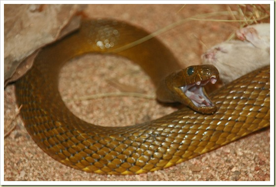 08-most-poisonous-animals-in-the-world-inland-taipan - 10 Most Poisonous Animals in the World - Weird and Extreme