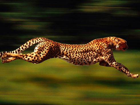 Quickest/Fastest Animals on the Planet